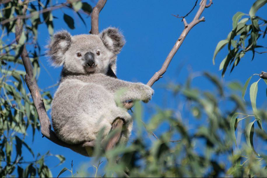 Sitting pretty: Brett Mezen took this fabulous picture of a koala in Smith's Creek near Ruse a few weeks ago.