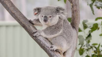 Citizen scientists needed to help track Campbelltown's koalas
