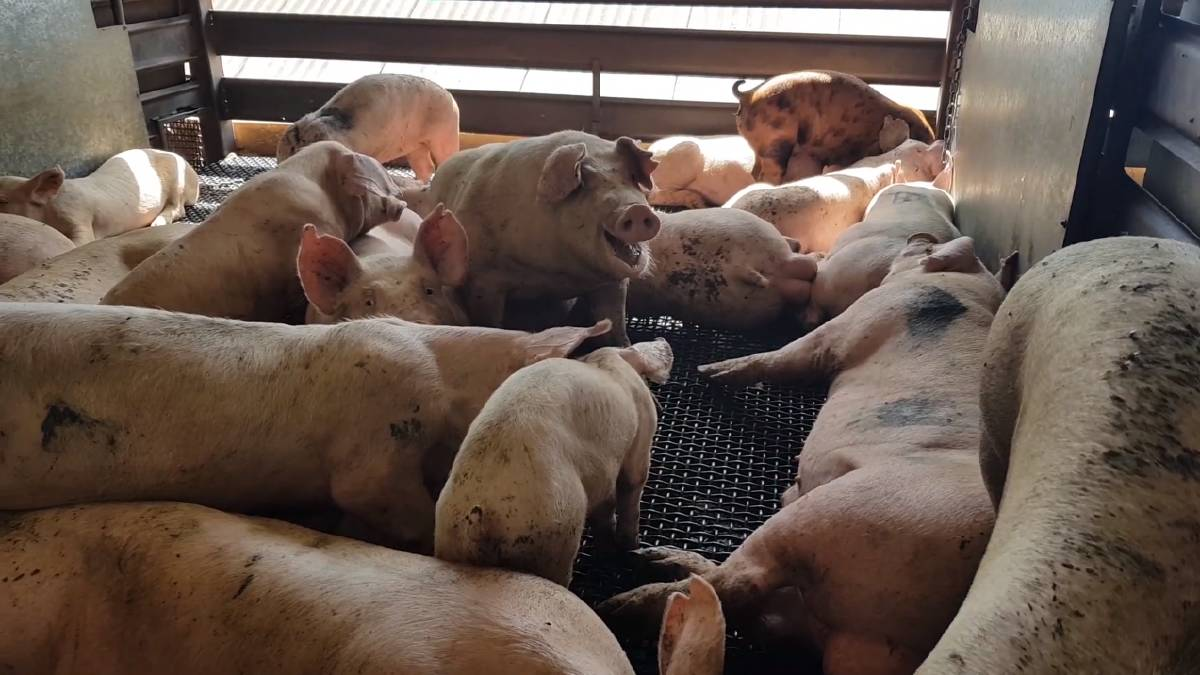 Pigs in their pens before being slaughtered at Picton Meatworx. Picture: Aussie Farms